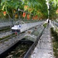 alt Hydroponic and aquacultura in a greenhouse